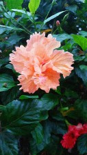 peach, flower