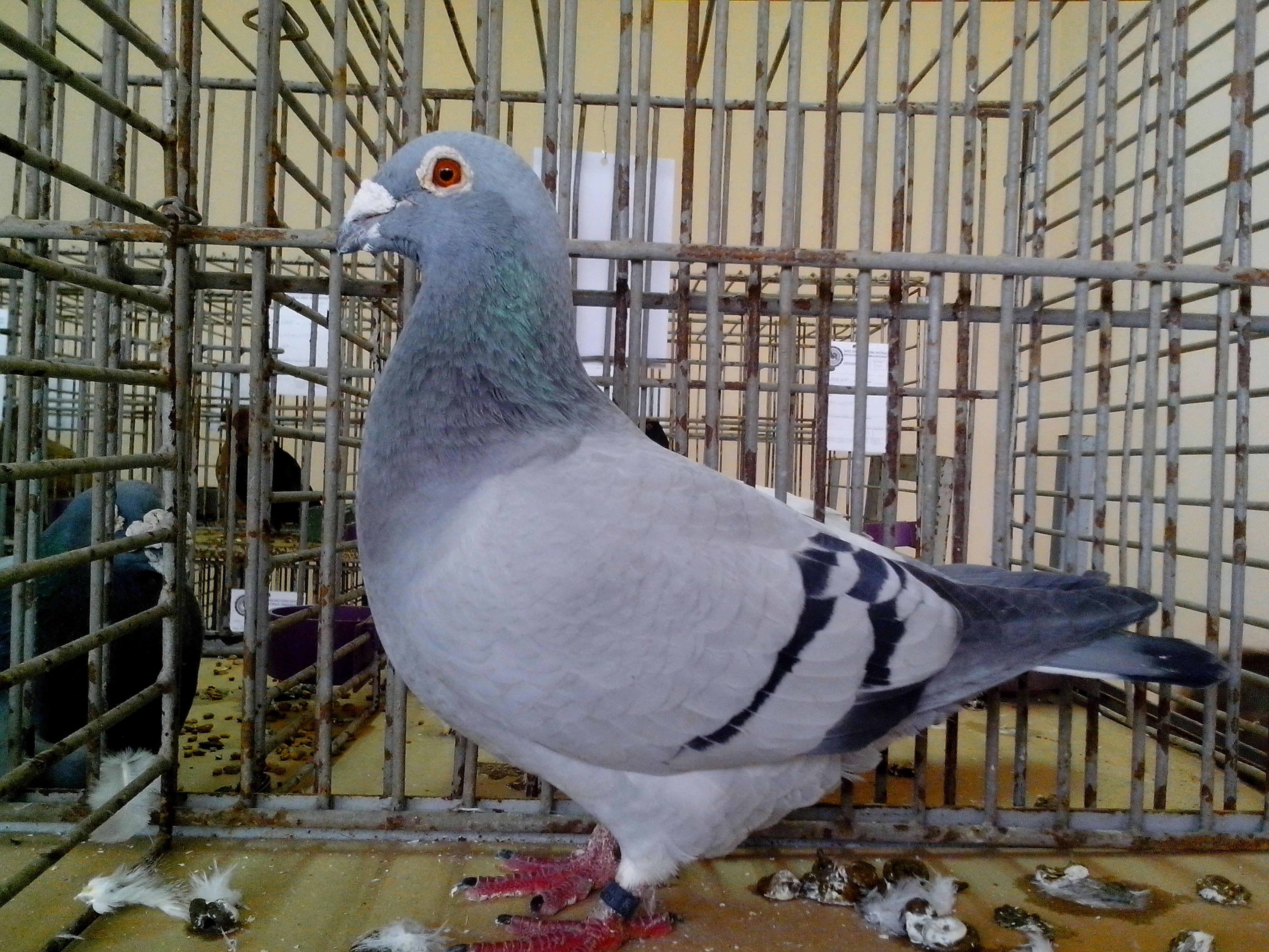 Free photograph; light, blue, pigeon, bird, show