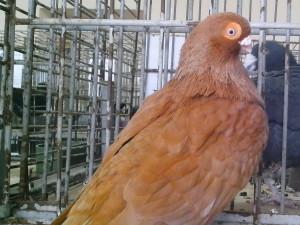 ánh sáng, màu nâu, Bồ câu, chim triển lãm