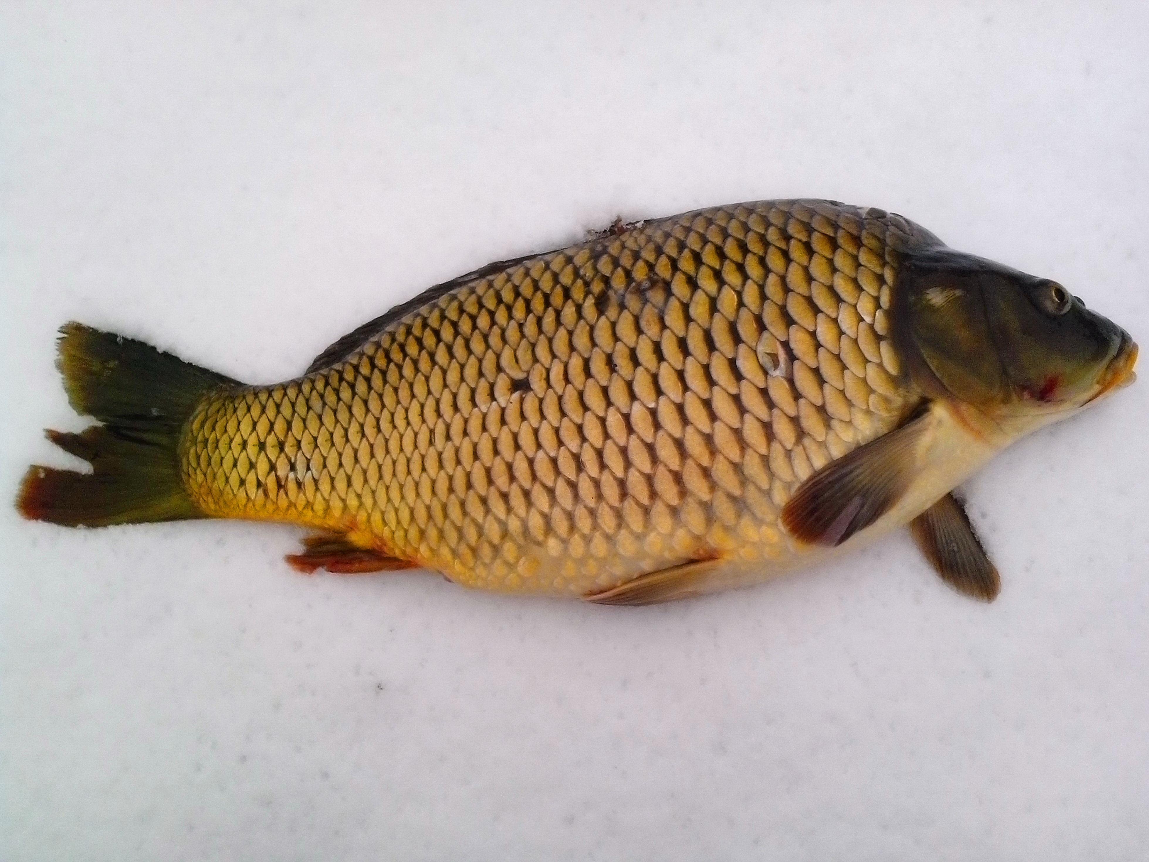 Free photograph; carp, fish, snow