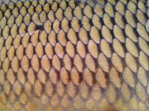 Textur, Fisch, Waage