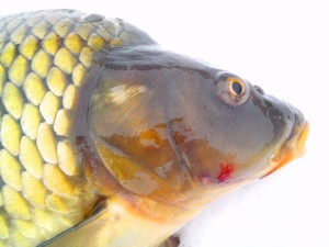 wild, carp, fish, head, white background