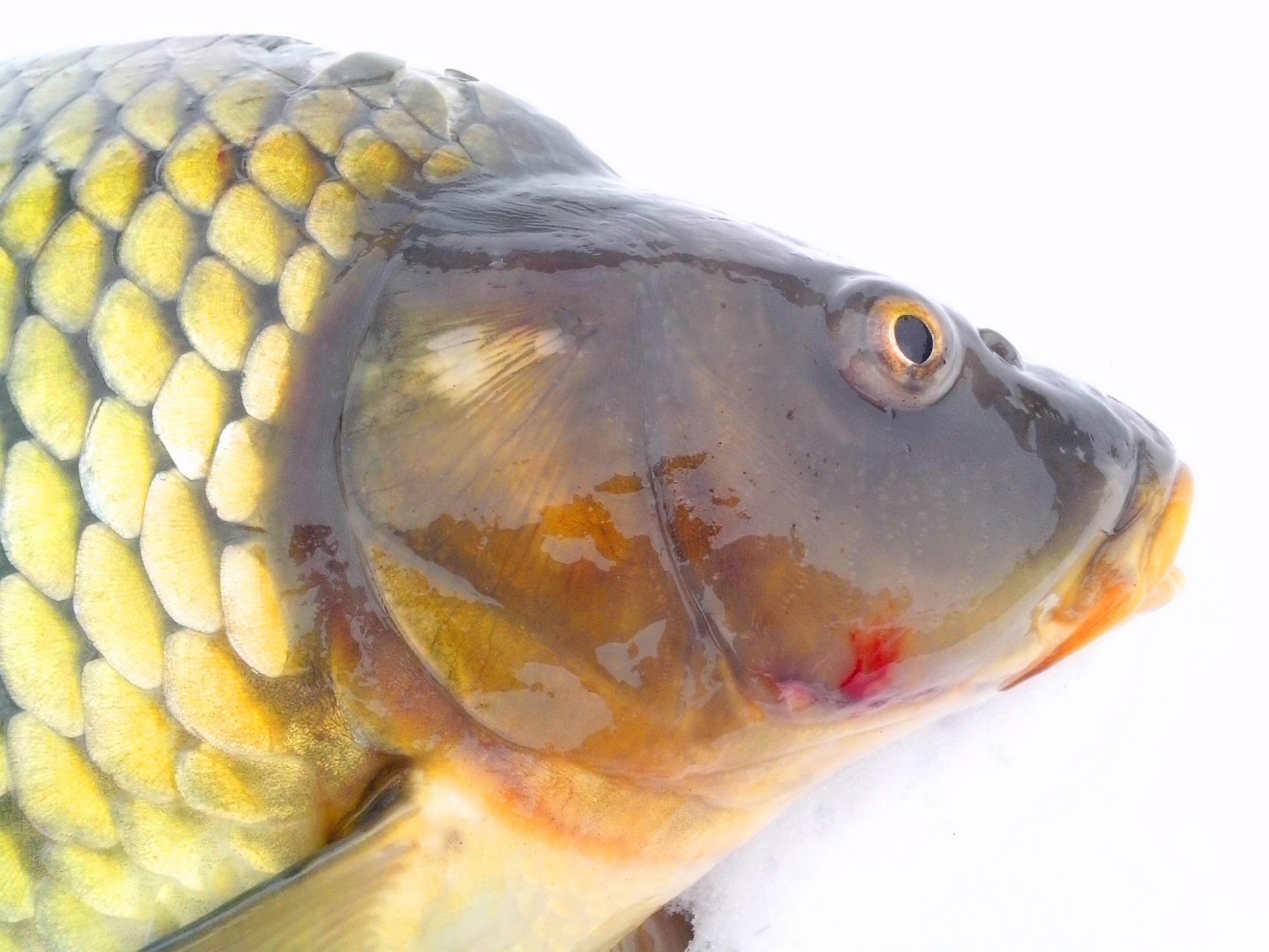 Free photograph; wild, carp, fish, head, white, background