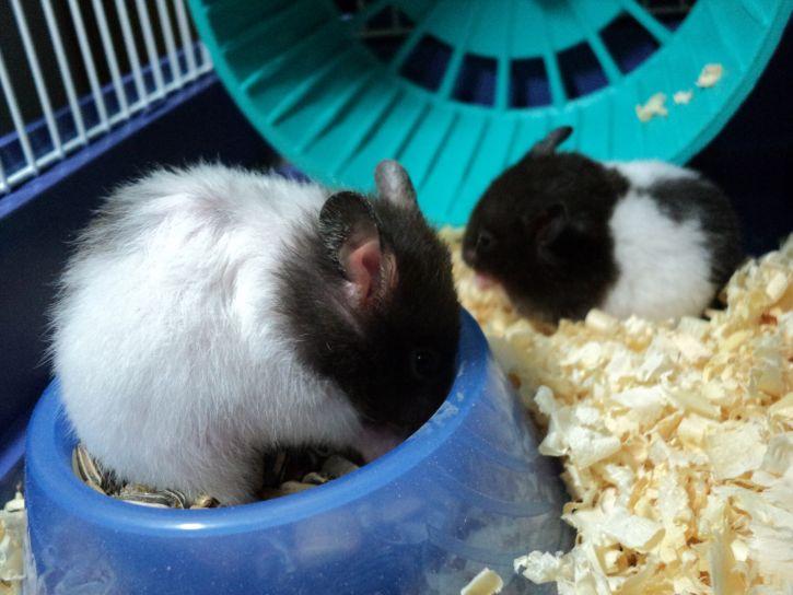 hamster, eating
