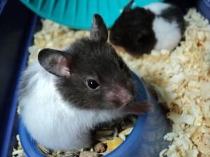 hamster, looking