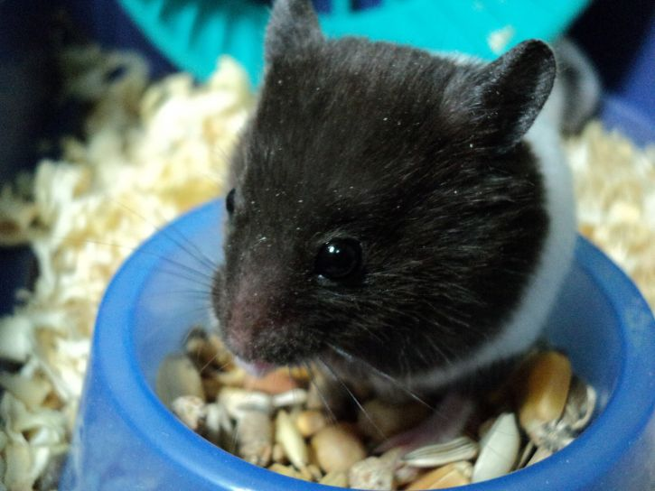 hamster, animal, rodent, terrarium, eating, seeds, food
