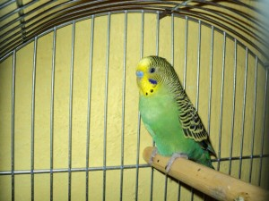 stylish, parakeet, parrot, cage