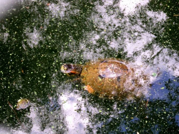 turtle, swimming, zoo