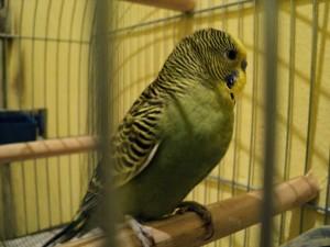 periquito, mirando, jaula, pájaro, animal