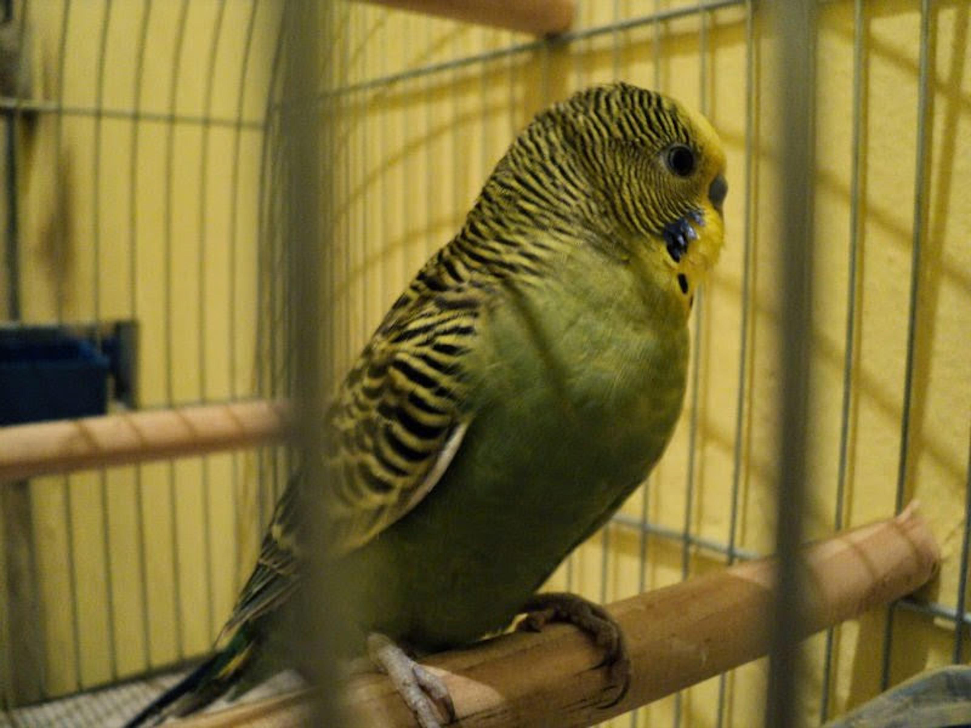 Free photograph; parakeet, looking, sideways, cage, bird, animal