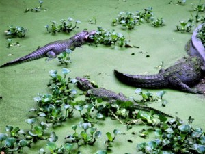 alligators, reptile, swamp, zoo