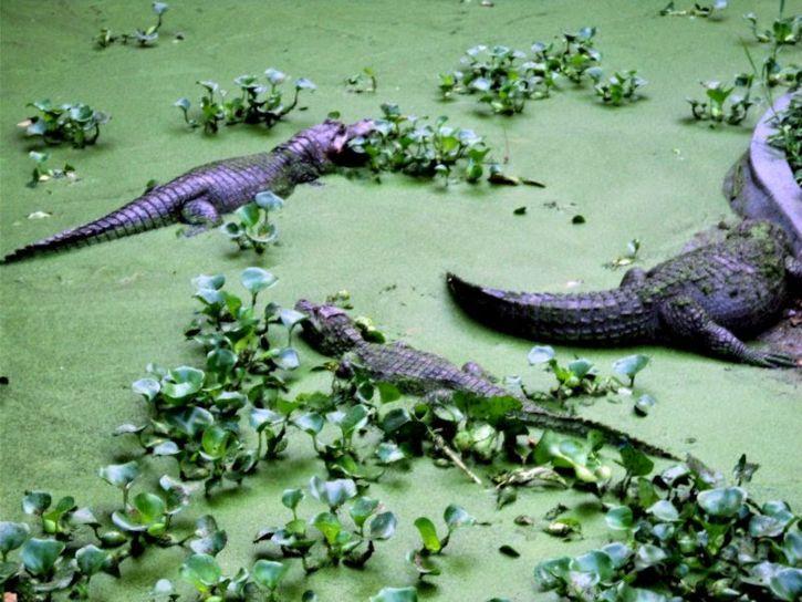 alligators, reptile, swamp, zoo