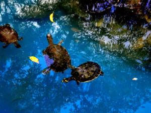 거북이, 동물, 호수, 크리스털, 클리어, 물