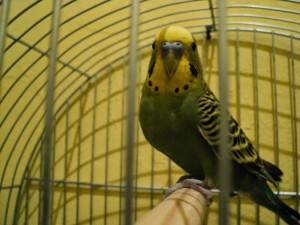 parakeet, parrot, bird, looking, cage