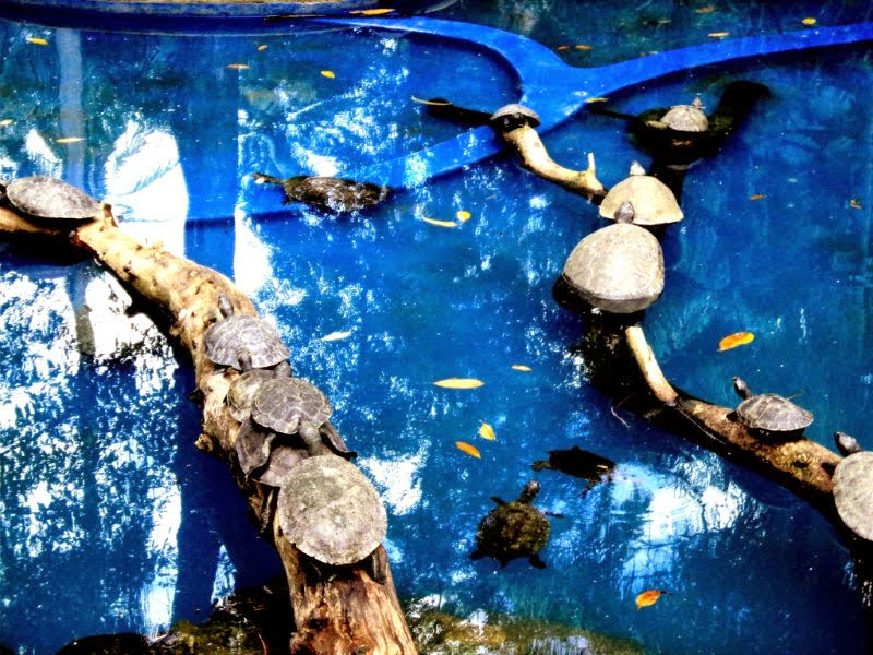 Free photograph; reptile, turtles, animals, pool, zoo, park, town