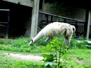 llama, hewan, Mamalia, makan, kebun binatang