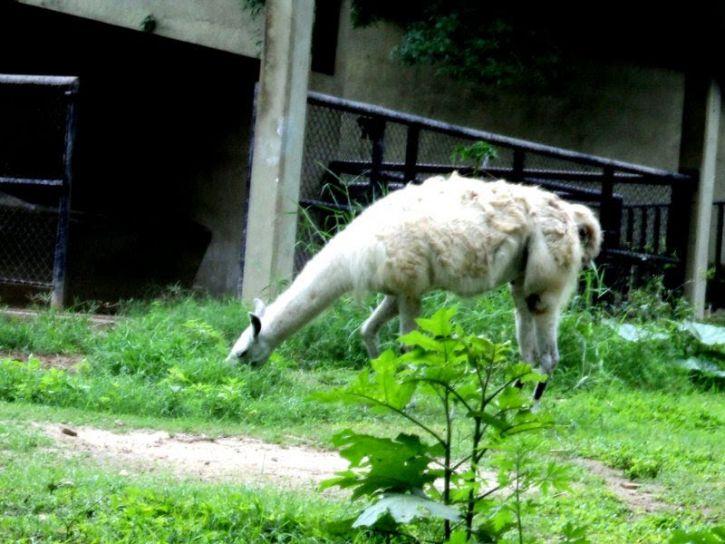 llama, animal, mamífero, la alimentación, el zoológico