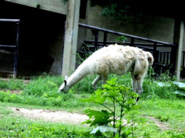 llama, animal, mammal, feeding, zoo