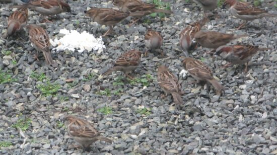 sparrows, birds, eating, rice, ground