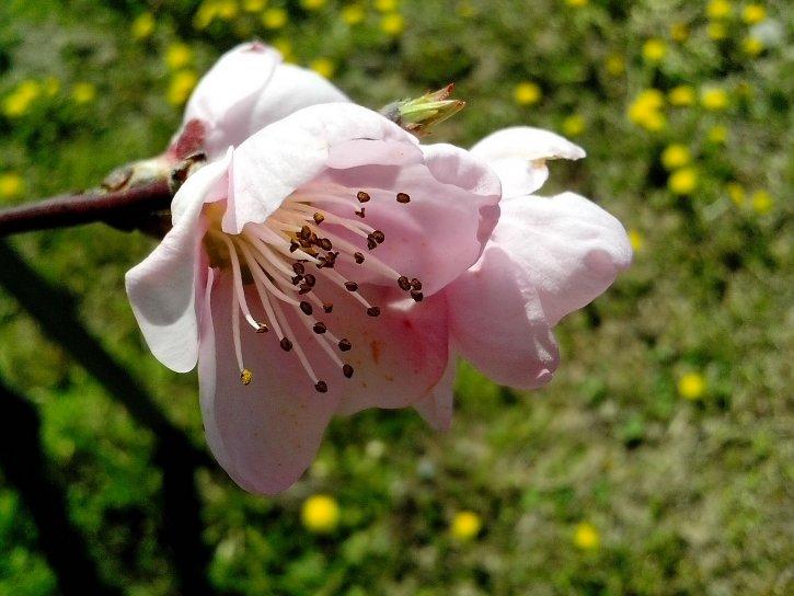 nectar, petals, close, pink, flowers, spring, fruit