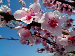 pink, nektar, blomster, forår tid
