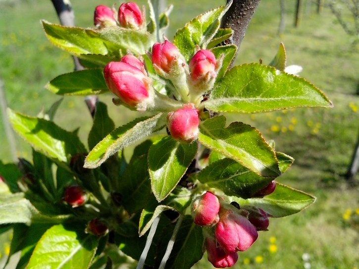 pink, red, spring, flowers, tree