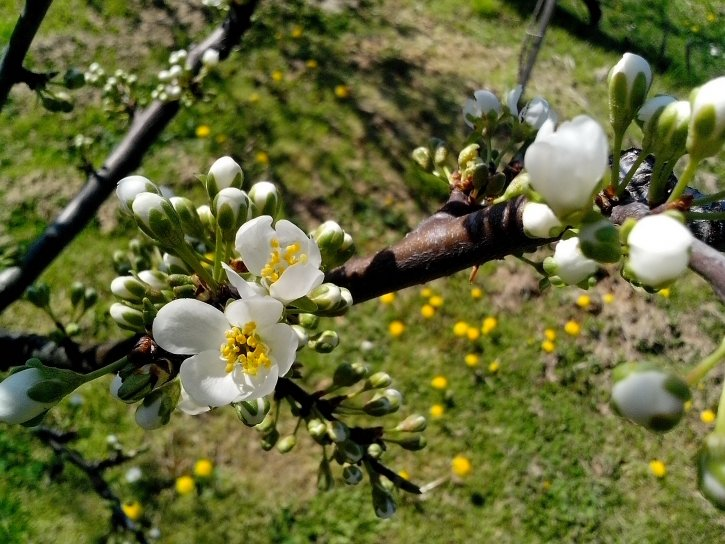 white, flowers, petals, branch, spring, time