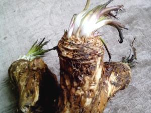rábano picante, planta, raíz, grande