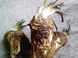 horseradish, plant, root, big