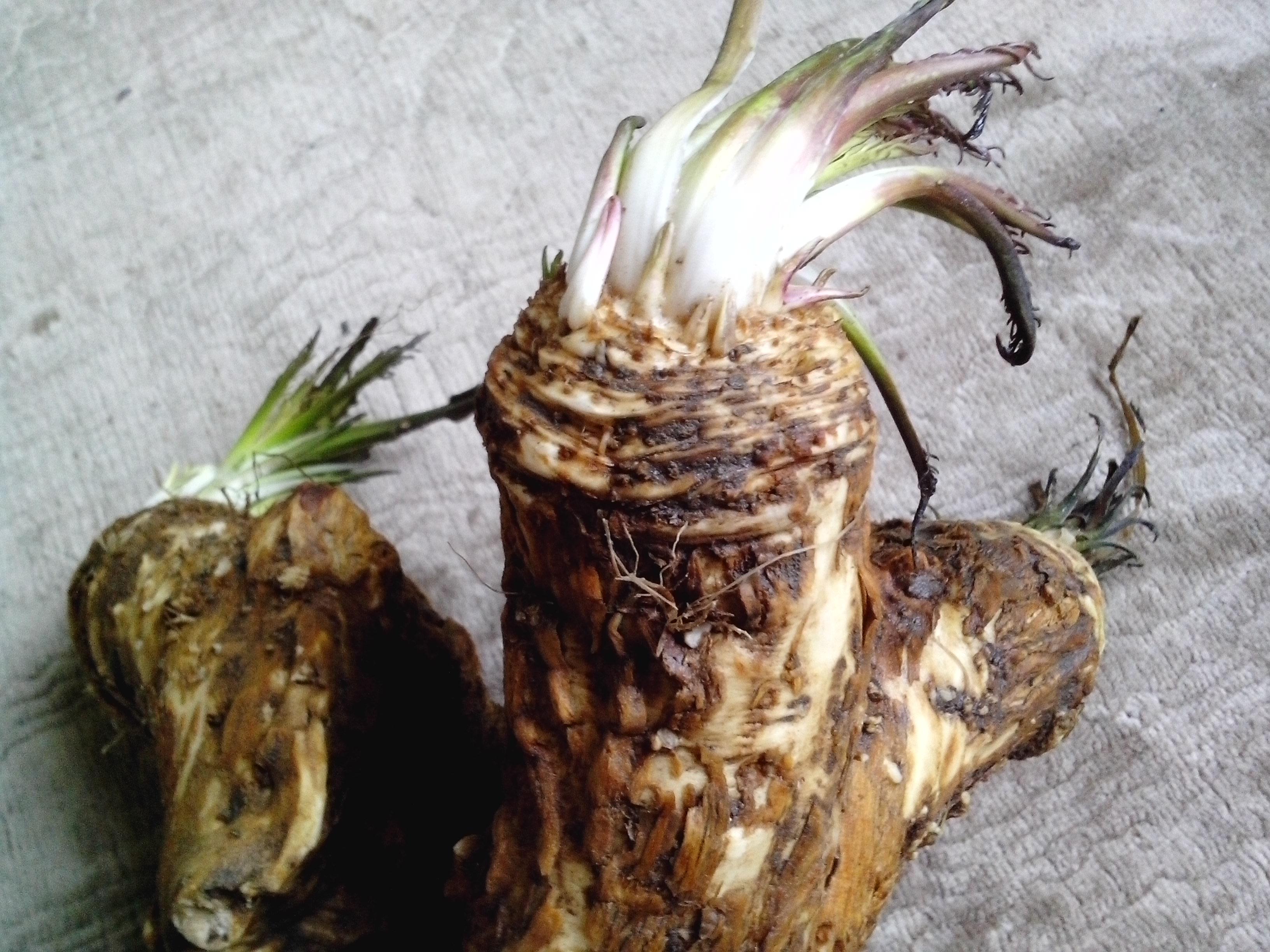 Free photograph; horseradish, plant, root, big