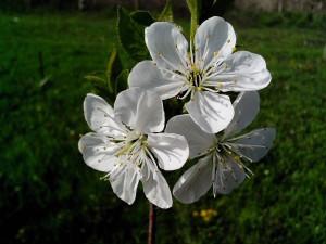 čerešňa, kvet, biely kvet a lístkov
