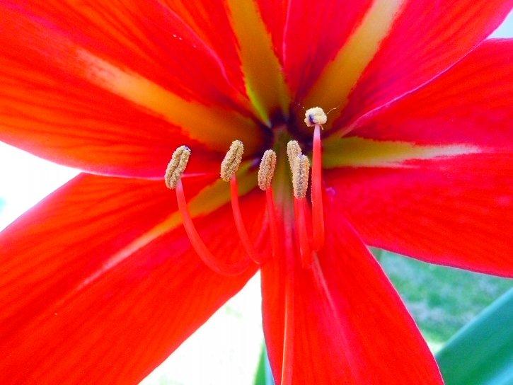 blossom, pollination, pestle, plant, flora, red, flower, petals