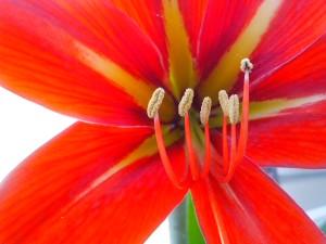 nektar, paličkou, pyl, opylování, květ, okvětní lístky, bloom