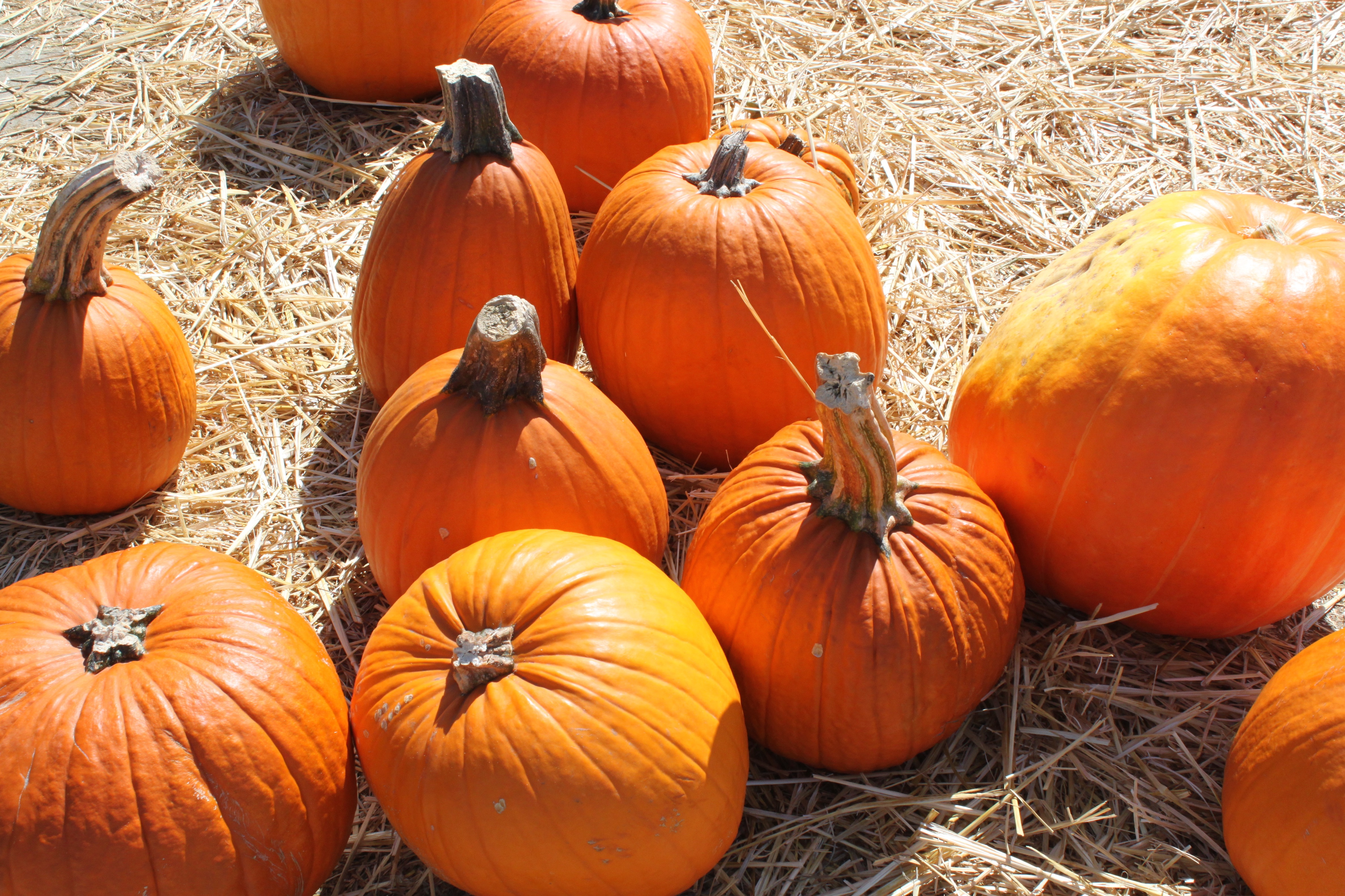 Free photograph; pumpkins, autumn, hay
