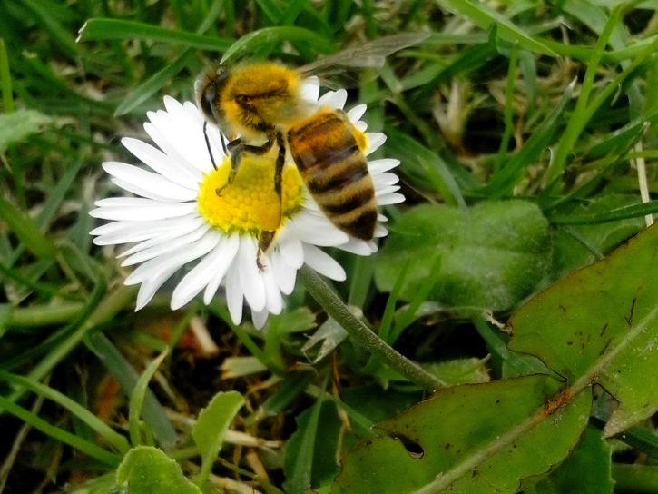 honey, bee, working, insect, flowering, meadow
