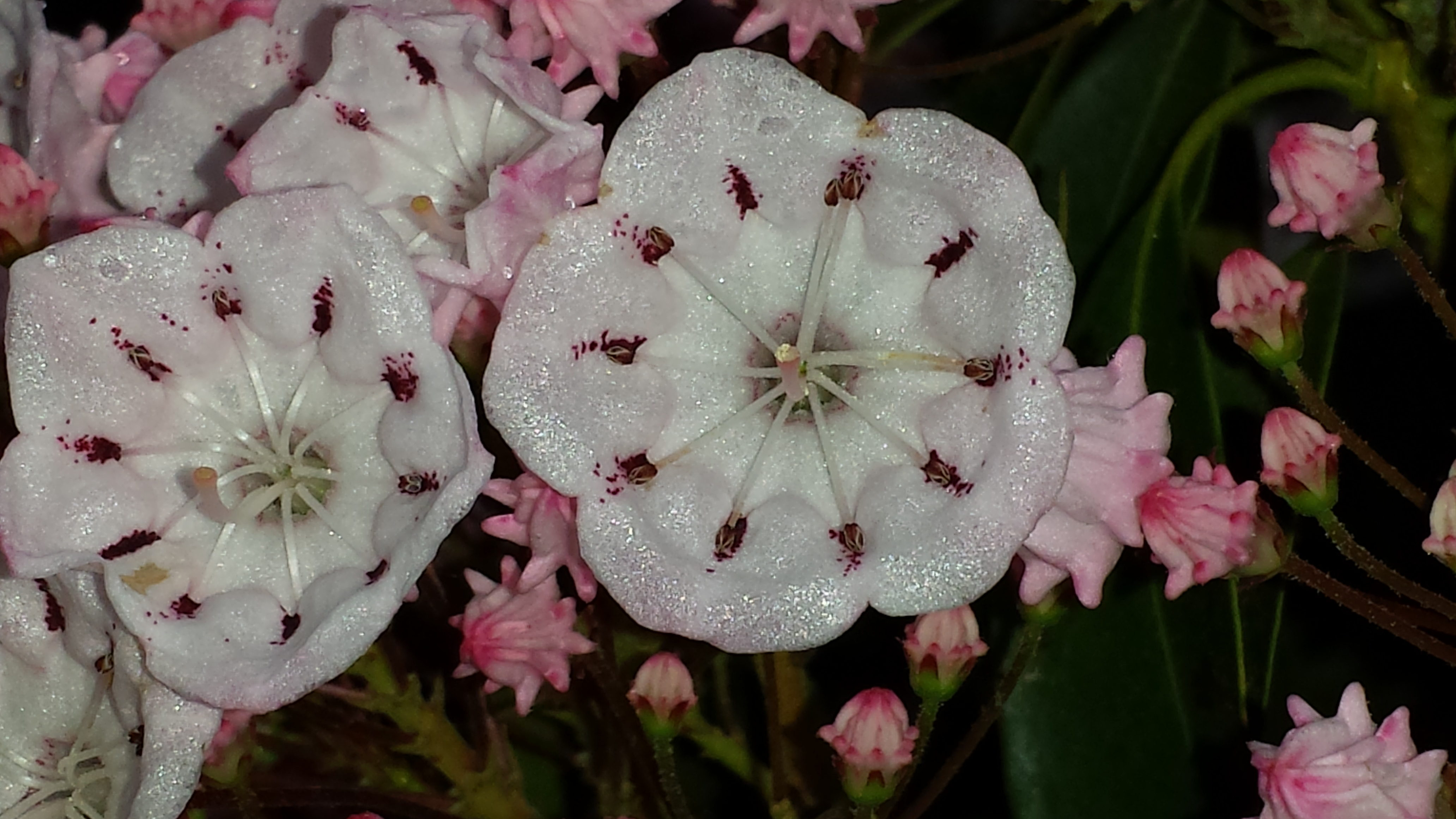 Free photograph; white, mountain, Laurel, flowers, blooms