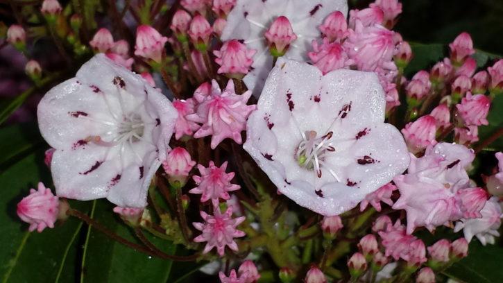 beautiful, mountain, wildflowers, Laurel, blooms, buds