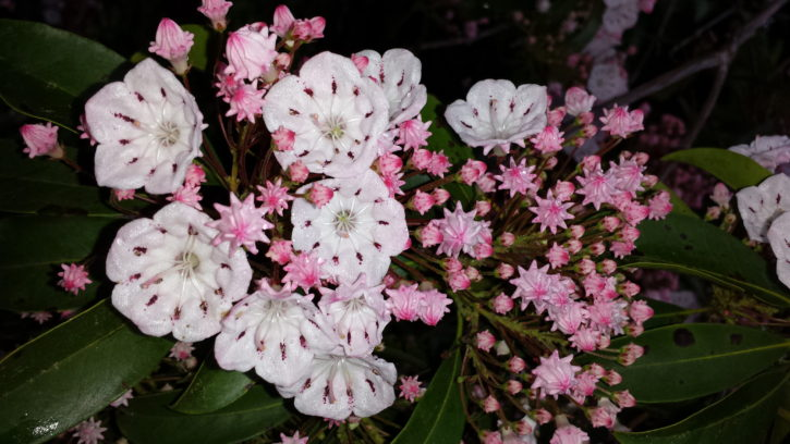 pinkish flowers, mountain, Laurel, blooms