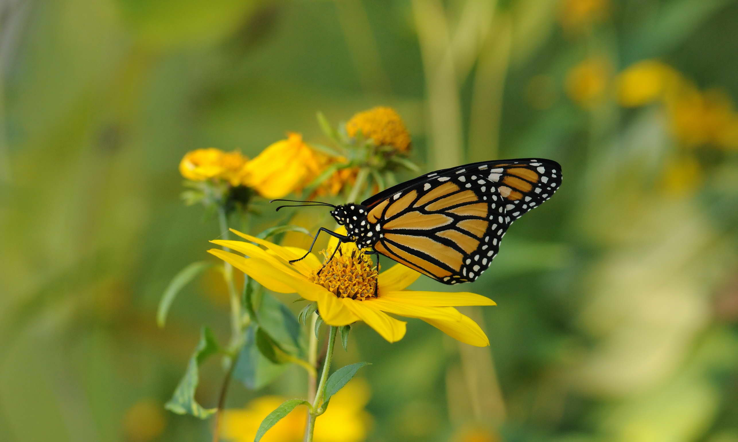 Free photograph; insect, Monarch, butterfly, yellow, flower