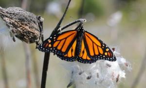monarch butterfly, rests, milkweed, pod
