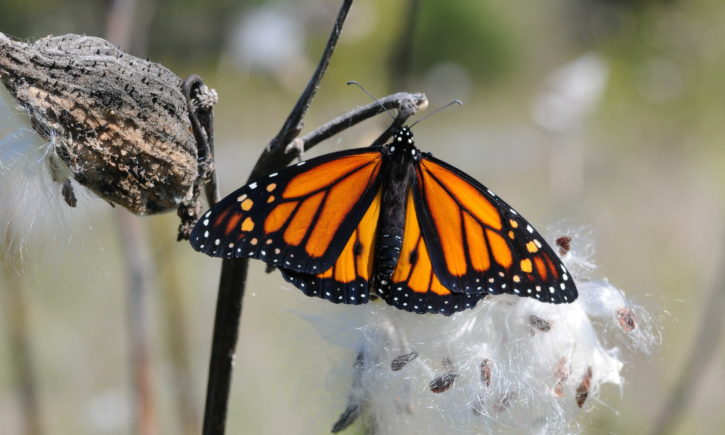 monarch, butterfly, rests, milkweed, pod