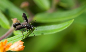 black, wings, wasp, insect, macro