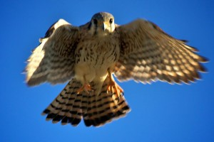 Amerykańska, pustułka, Falco, sparverius, małe, Sokół, drapieżnik, ptak