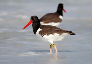 banded, American, oystercatcher, bird