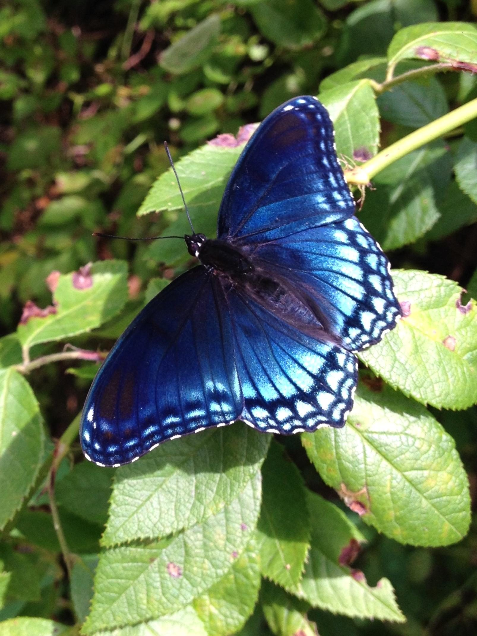 Free photograph; beautiful, native, species, butterfly, red, spotted, purple, beautiful