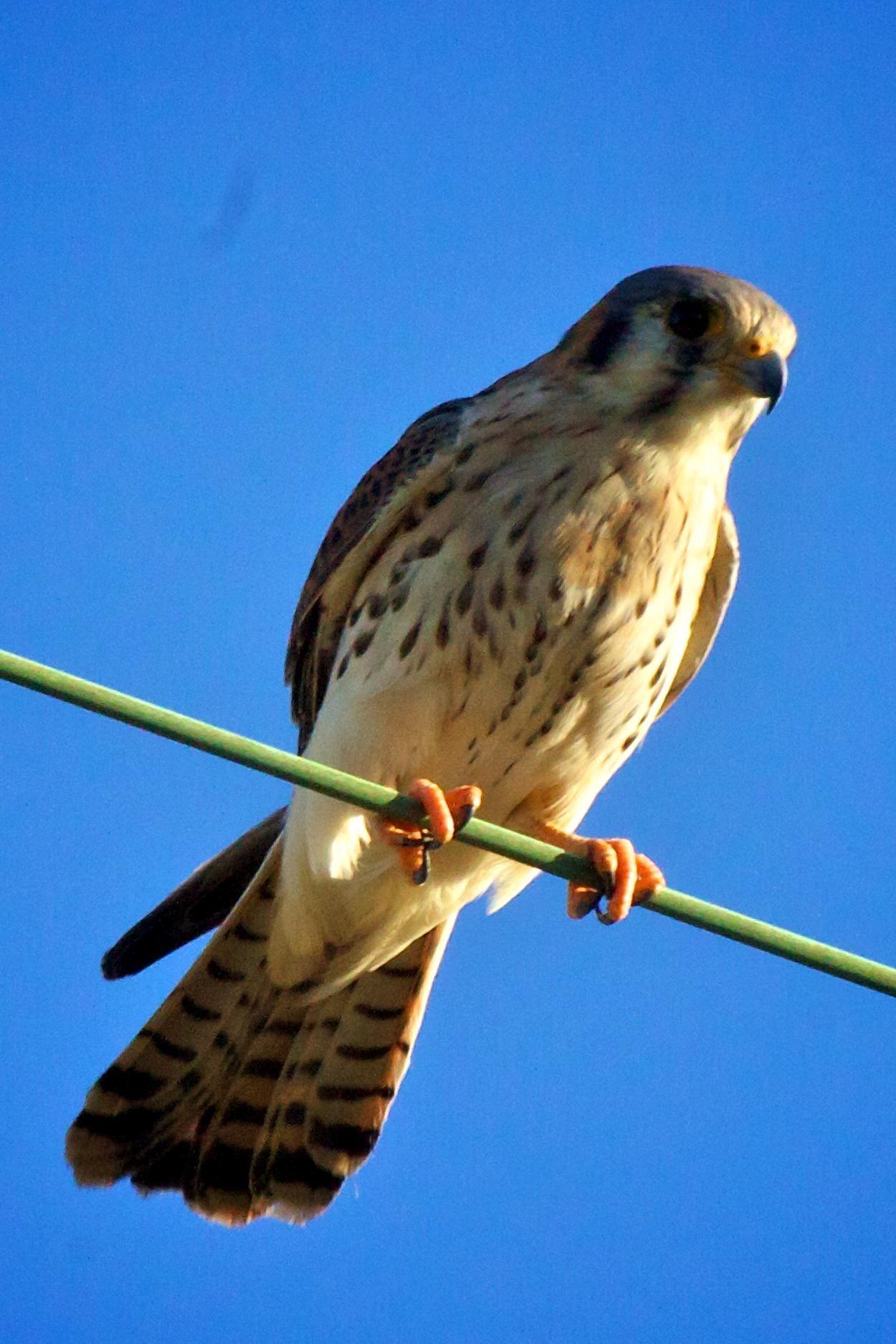 Free photograph; bird, American, Kestrel