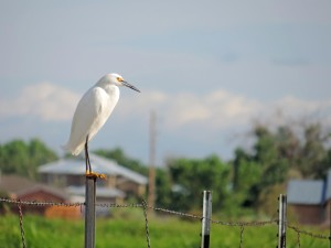bird, Snowy, egret, wire, bird