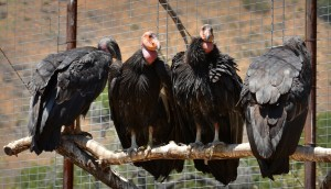 birds, California, condor, raptors