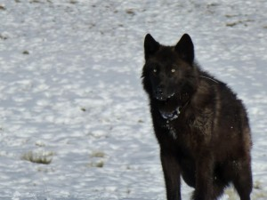 black wolf, melanistic, colour, variant, gray, wolf