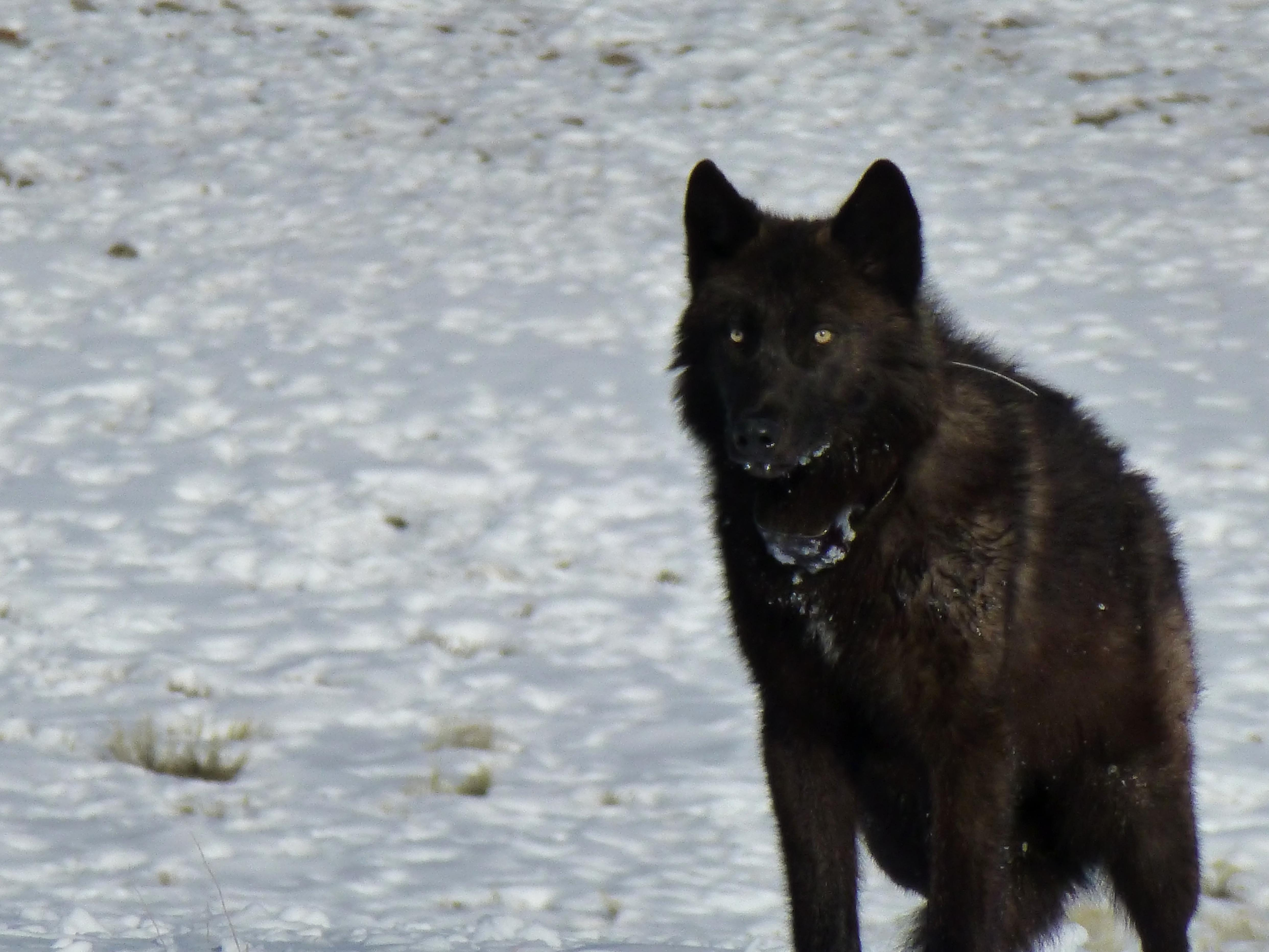 Free photograph; black, wolf, melanistic, colour, variant, gray, wolf